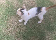قطة صغيرة هجينة شيرازي للتبني