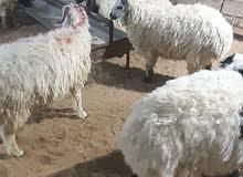 الخرفانsheep and goats 0508422425