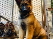 Baby German Shepherd king-size long hair