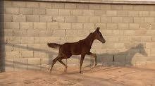 مهر حصان