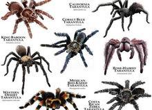 مطلوب عناكب الترانتولا