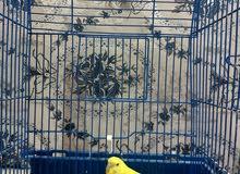 طيور بادجي زوج للبيع