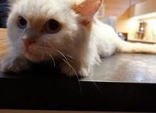 قطط همالايا و شيرازي