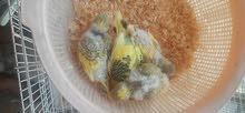 English Budgies Chicks