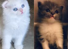 scottish fold kitten سكوتش فولد