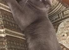 قطط ذكر للبيع