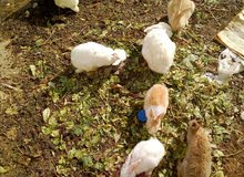 ارانب للبيع  ارانب المانيه ارانب عربيه ارانب اسديه ارانب مالطيه