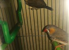 طيور الجنة