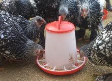 فلاليس دجاج زينة