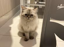 قطه همالايا للبيع عمرها سنه وست شهور