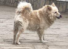 مطلوب كلبه أنثى Japanese spitz