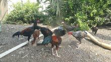 دجاج باكستاني 5 دجاجة و4دياكه