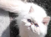 قط هملايا اورنج صغيرللبيع