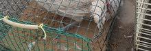 الجهراء للبيع دجاج ألمنيوم