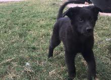 للبيع كلاب جرو ،، النوع : بلاك جاك