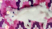 قط شيرازي اليف