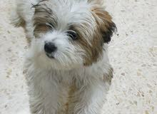 كلب زينه فرنسي