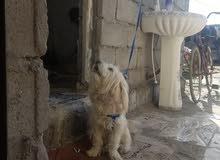 كلب زينه لبيع السعر 200 ذكر وحلو ونظيف