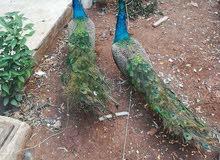 طقم طاووس هندي شغال ومنتج