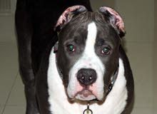 The Biggest breed Amaerican Bully XXl size Male 7 months old