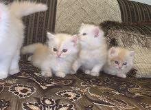 اربع قطط شيرازي للبيع شهرين ونص