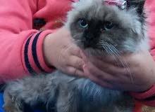 قطوسة انثى نوع هملايا - تم البيع