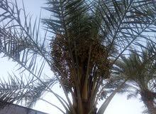 مزرعة في منطقة الغور الرامه مساحة الارض دونمين الدونم الثاني مشجر من  الحمضيات