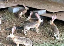 مطلوب أرانب بريه