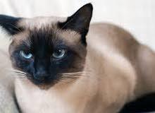 بيع قطط سيمو