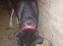 كلبه هاسكي عمره لبيع او البدل