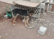 كلبه للبيع او للبدل على 5 فردات كوشوك خشن يركب على بكم دي ماكس