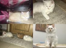 قطط. شيرازي هاف بيكي عمر 3 شهور