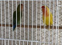 love bird pair