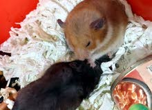 3 hamster and 4 baby hamster with full setup