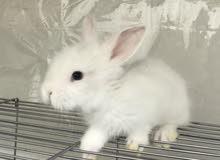ارانب اناث عمر شهر
