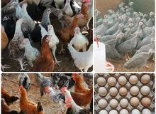 Local Chickens ....  دجاج محلي