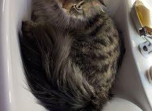 قط سيبيري مميز