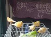 خمس طيور كنار للبيع