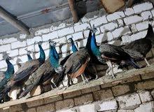 اجواز طاووس للبيع