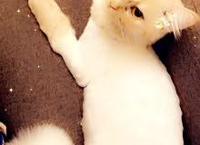 قطة شيرازيه ممتازه وجميله