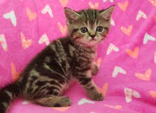 British tabby kitten