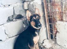 كلبه جيرمن نثيه عمره اربع اشهر للبيع