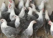 دجاج فيومي بياض البيع