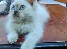 قطة شيرازي ابيض بيور