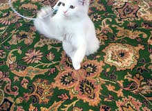 قط روسي العمر 5اشهر للبيع