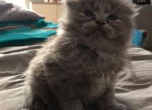 قط شيرازي رصاصي اللون