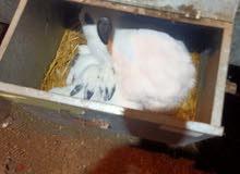 ارانب ببيون للبيع