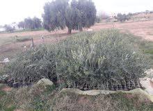 مشتل اشجار زيتون النوع اسباني الصنف أربكينا  البيع
