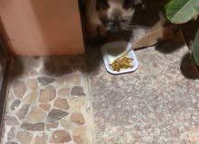 قطه صغيره لطيفه بيضه مع بني
