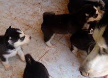 كلاب هسكي بيور للبيع بأعلى سعر